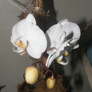 The orchid I took from the garbage in bloom