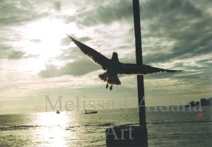 Photograph Seagull in Key West
